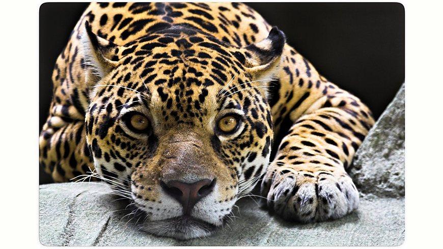Glasbild, Home affaire, »Jaguar«, in 2 Größen